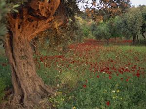 Poppies Beneath an Old Olive Tree, on the Island of Rhodes, Dodecanese, Greek Islands, Greece by Miller John