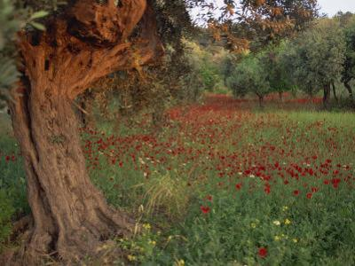 Poppies Beneath an Old Olive Tree, on the Island of Rhodes, Dodecanese, Greek Islands, Greece