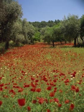 Wild Flowers Including Poppies in a Grove of Trees, Rhodes, Dodecanese, Greek Islands, Greece by Miller John