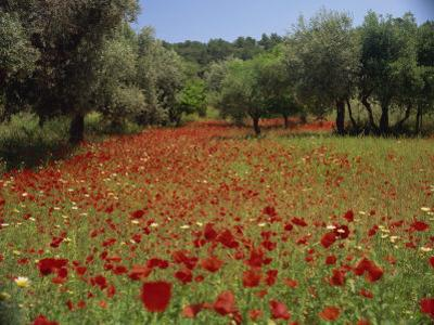 Wild Flowers Including Poppies in a Grove of Trees, Rhodes, Dodecanese, Greek Islands, Greece