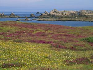 Wild Flowers on the Shore and the Rocky Coast of the Ile D'Ouessant, Finistere, Brittany, France by Miller John