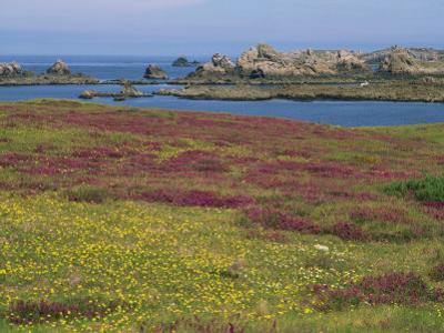 Wild Flowers on the Shore and the Rocky Coast of the Ile D'Ouessant, Finistere, Brittany, France