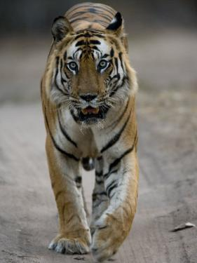 Dominant Male Indian Tiger, Bandhavgarh National Park, Madhya Pradesh State, India by Milse Thorsten