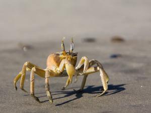 Ghost Crab, Atlantic Ocean Coast, Namibia, Africa by Milse Thorsten