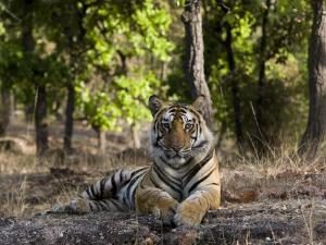 Indian Tiger, Bandhavgarh National Park, Madhya Pradesh State, India by Milse Thorsten