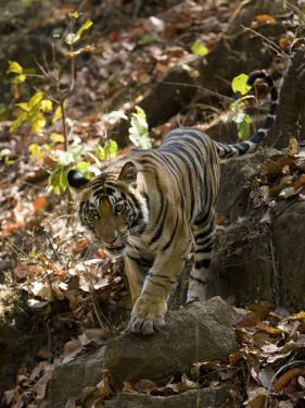 Indian Tiger (Bengal Tiger, Bandhavgarh National Park, Madhya Pradesh State, India by Milse Thorsten