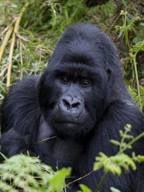 Mountain Gorilla Silverback, Kongo, Rwanda, Africa by Milse Thorsten