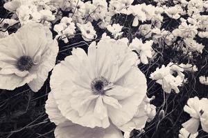 White Poppy Field by Mindy Sommers