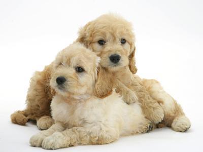 https://imgc.allpostersimages.com/img/posters/miniature-goldendoodle-puppies-golden-retriever-x-miniature-poodle-cross-aged-7-weeks-lying_u-L-Q10OC670.jpg?p=0