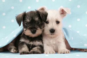 Miniature Schnauzer Puppies (6 Weeks Old)