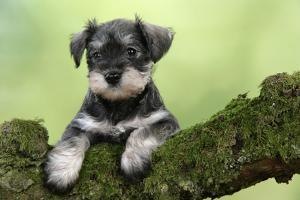 Miniature Schnauzer Puppy (6 Weeks Old) on a Mossy Log