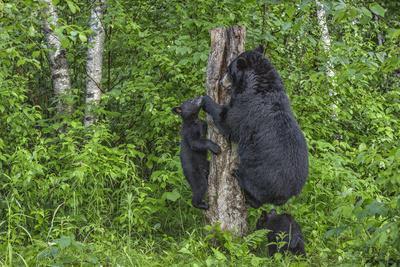 https://imgc.allpostersimages.com/img/posters/minnesota-sandstone-black-bear-cub-with-mother-climbing-tree-trunk_u-L-PU3N940.jpg?p=0