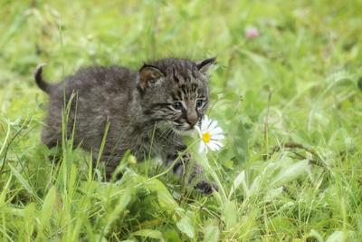 https://imgc.allpostersimages.com/img/posters/minnesota-sandstone-bobcat-kitten-in-spring-grasses-with-daisy_u-L-PU3N9J0.jpg?p=0