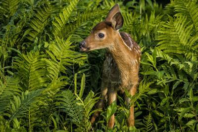 https://imgc.allpostersimages.com/img/posters/minnesota-sandstone-close-up-of-white-tailed-deer-fawn-in-the-ferns_u-L-PU3N9Y0.jpg?p=0