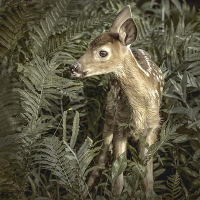 https://imgc.allpostersimages.com/img/posters/minnesota-sandstone-close-up-of-white-tailed-deer-fawn-in-the-ferns_u-L-PU3NAC0.jpg?p=0