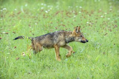https://imgc.allpostersimages.com/img/posters/minnesota-sandstone-minnesota-connection-grey-wolf-pup-hunting_u-L-PU3NB30.jpg?p=0