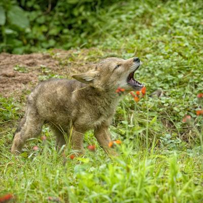 https://imgc.allpostersimages.com/img/posters/minnesota-sandstone-minnesota-wildlife-connection-coyote-howling_u-L-PU3NBH0.jpg?p=0