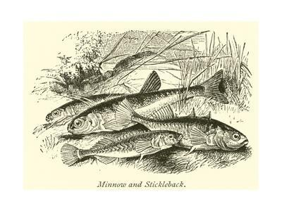 https://imgc.allpostersimages.com/img/posters/minnow-and-stickleback_u-L-PPCBX80.jpg?p=0