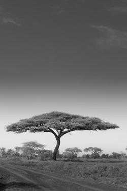 An Acacia Tree in Serengeti National Park, Tanzania by Mint Images - Art Wolfe