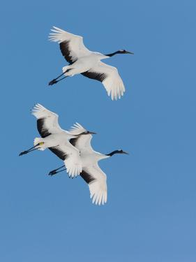 Japanese Cranes, Hokkaido, Japan by Mint Images/ Art Wolfe