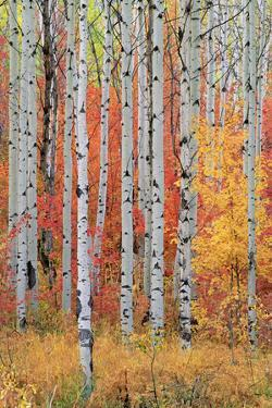 A Forest of Aspen and Maple Trees in the Wasatch Mountains, with Striking Yellow and Red Autumn Fol by Mint Images - David Schultz