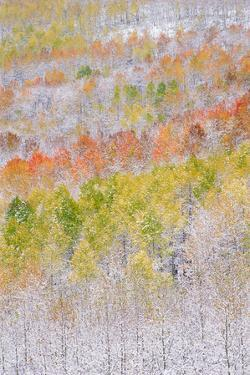 A Forest of Aspen Trees in the Wasatch Mountains, with Striking Yellow and Red Autumn Foliage. Snow by Mint Images - David Schultz