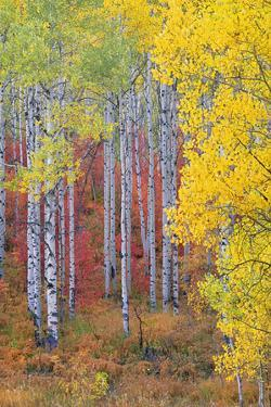 A Forest of Aspen Trees in the Wasatch Mountains, with Striking Yellow and Red Autumn Foliage. by Mint Images - David Schultz