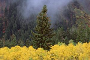 A Forest of Trees in the Wasatch Mountains, with Striking Yellow Autumn Foliage. Green Pine Trees. by Mint Images - David Schultz