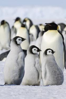 A Group of Emperor Penguins Standing on the Ice on Snow Hill Island. by Mint Images - David Schultz