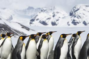 A Group of King Penguins, Aptenodytes Patagonicus, on South Georgia Island. by Mint Images - David Schultz