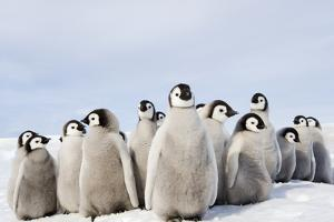 A Nursery Group of Emperor Penguin Chicks, Huddled Together, Looking Around. A Breeding Colony. by Mint Images - David Schultz