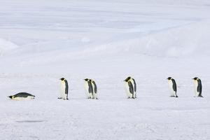 A Row of Emperor Penguins Walking across the Ice and Snow, in Single File. One Lying on its Stomach by Mint Images - David Schultz
