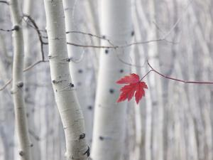 A Single Red Maple Leaf in Autumn, against a Background of Aspen Tree Trunks with Cream and White B by Mint Images - David Schultz