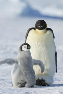 An Adult Emperor Penguin and a Smaller Fluffy Penguin Chick Spreading its Flippers Out. by Mint Images - David Schultz
