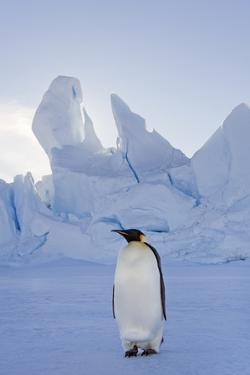An Adult Emperor Penguin Standing on the Ice in Shadow, with Head Turned Sideways, on Snow Hill Isl by Mint Images - David Schultz
