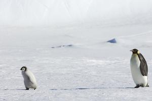 An Adult Emperor Penguin Watching over a Baby Chick on the Ice on Snow Hill Island. by Mint Images - David Schultz