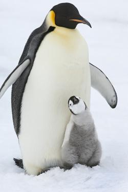 An Adult Emperor Penguin with a Small Chick Nuzzling Up, and Looking Upwards. by Mint Images - David Schultz