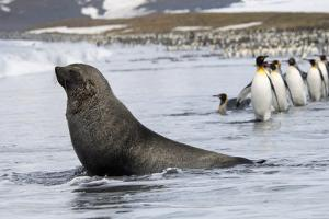 An Antarctic Fur Seal, Arctocephalus Gazella, on the Seashore, and a Group of King Penguins, Apteno by Mint Images - David Schultz