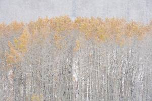 Aspen Trees in Autumn during Snow Fall. the Wasatch Mountains in Utah. by Mint Images - David Schultz