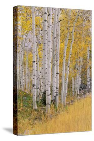Aspen Trees in Autumn with White Bark and Yellow Leaves. Yellow Grasses of the Understorey. Wasatch