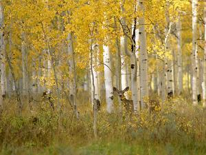 Autumn in Uinta National Forest. A Deer in the Aspen Trees. by Mint Images - David Schultz