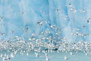 Black-Legged Kittiwakes in Front of Bright Blue Face of Glacier in Svalbard, Norway by Mint Images - David Schultz