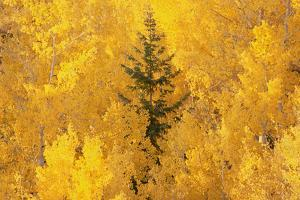 Elevated View over the Tops of the Aspen Trees in the Dixie National Forest in Autumn. by Mint Images - David Schultz