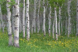 Grove of Aspen Trees, with White Bark and Bright Green Vivid Colours in the Wild Flowers and Grasse by Mint Images - David Schultz