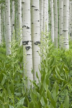 Grove of Aspen Trees with White Bark and Wild Flowers Growing in their Shade. by Mint Images - David Schultz