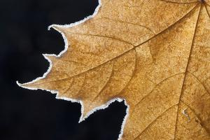Part of a Brown Frosted Maple Leaf with Central Ribs and Distinctive Outline. by Mint Images - David Schultz
