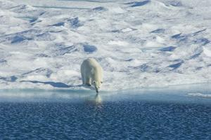 Polar Bear in the Wild. A Powerful Predator and a Vulnerable or Potentially Endangered Species. by Mint Images - David Schultz