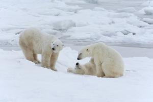 Polar Bears in the Wild. A Powerful Predator and a Vulnerable or Potentially Endangered Species. by Mint Images - David Schultz