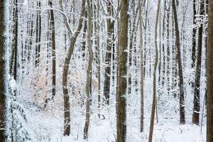 Snow Laden Forest Trees by Miramira