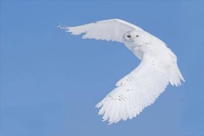 Hunting Snowy Owl by Mircea Costina